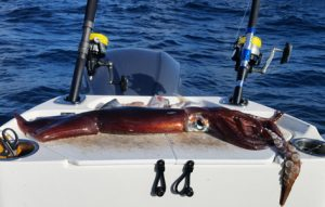 Bob McPherson caught this large aero squid from 550 metres of water off Portland (Picture: Bob McPherson).
