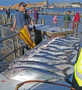 There are still plenty of school tuna to 12 kg or so to be caught off Portland (Picture: Bob McPherson).