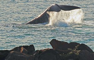 Southern Right Whale photographed from the Rocks in front of Pivot at Portland by Bob McPherson.