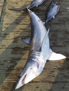 The mako shark that Tony Jones' caught off Portland (Picture: Bob McPherson).